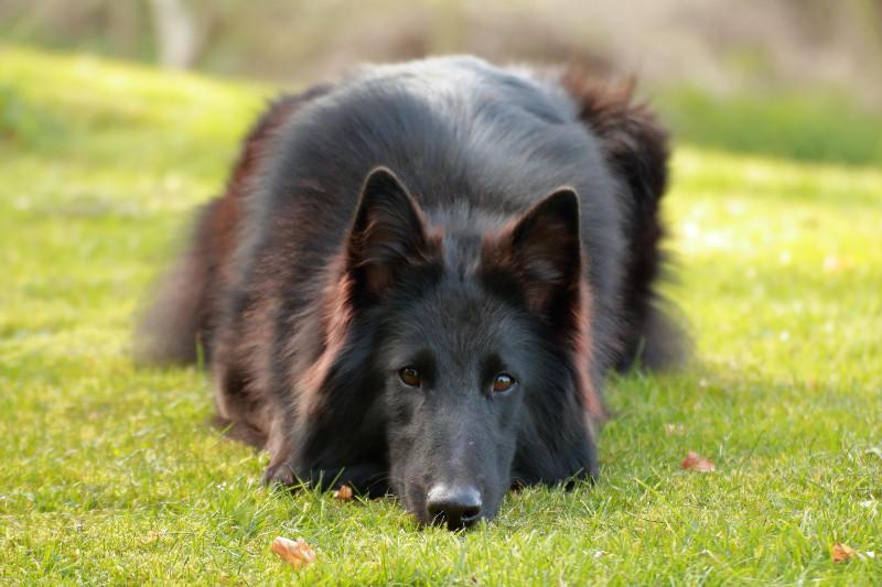 Groenendaal, belgischer Schäferhund
