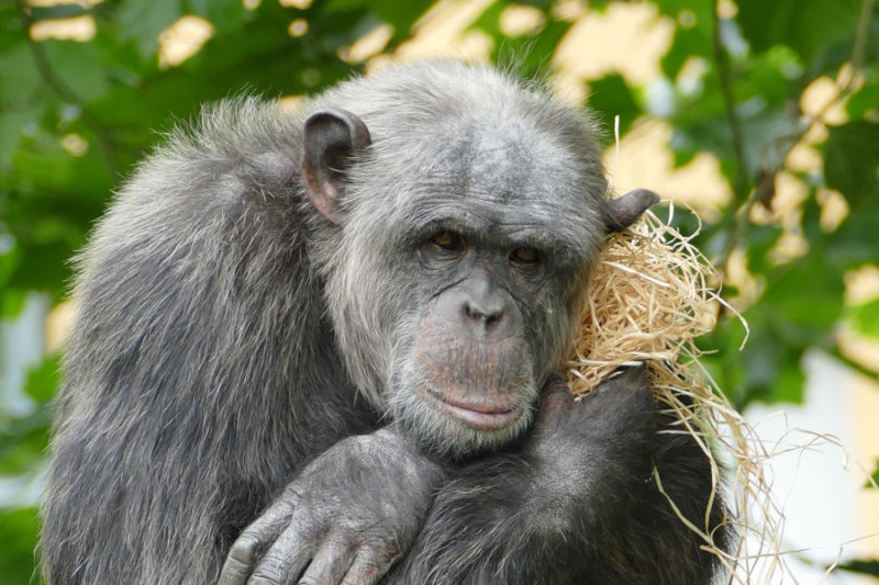 Der doofe Affe